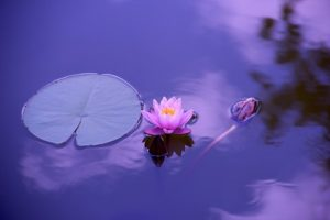 pond with water lillies